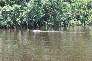 Alligator at the Everglades National Park